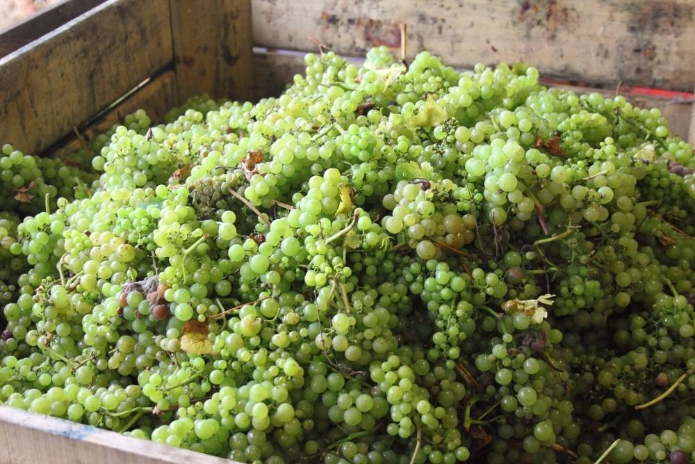 grapes after harvest