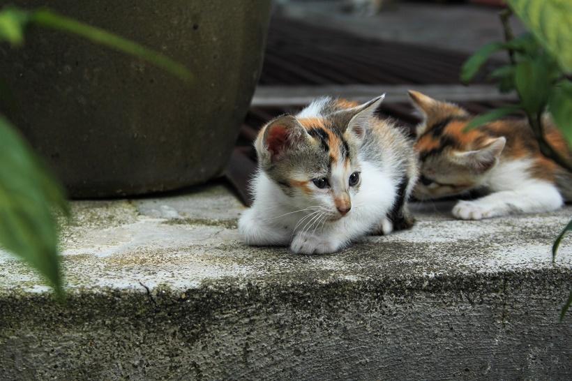 Kitten Cameron Highlands