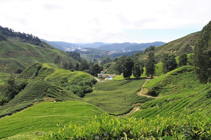 Tea Plantations Cameron Highlands